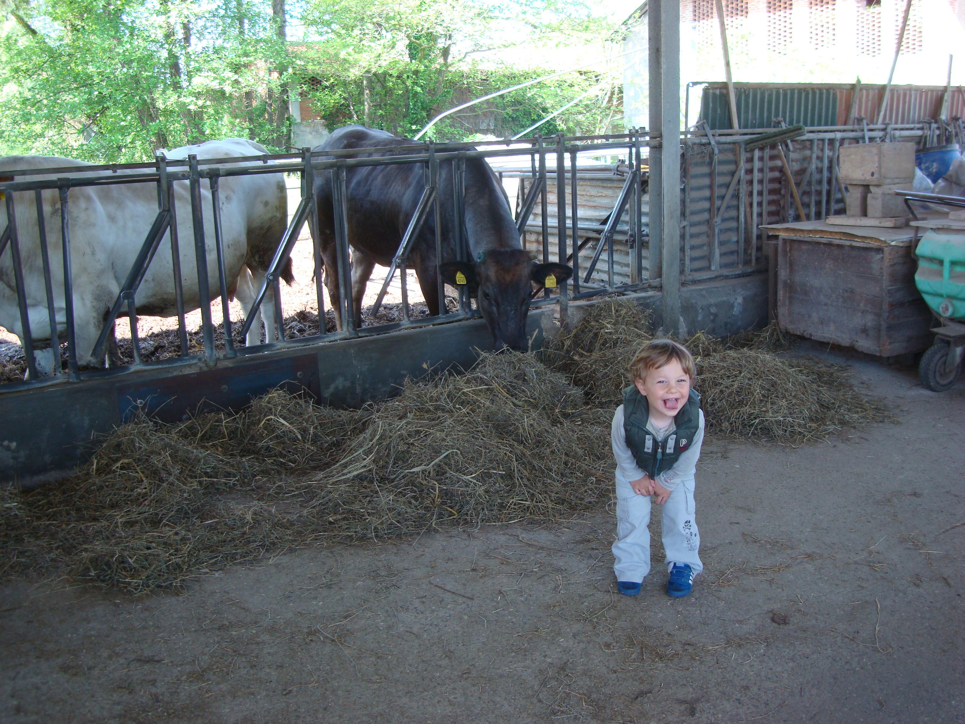 49 - mucche