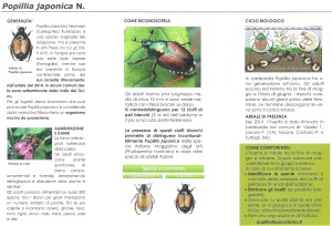 popillia1