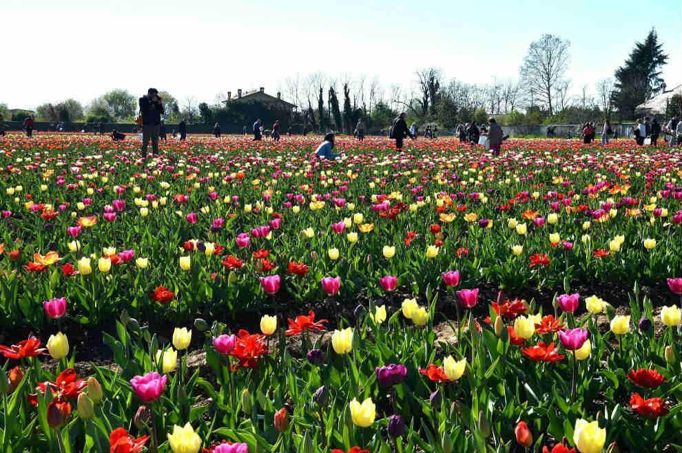 La frase del giorno ditelo con i fiori corriere alto for Tulipani italiani