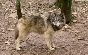 Canis_lupus_Gramat