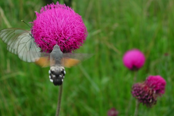 Cirsius sp con farfalle 11